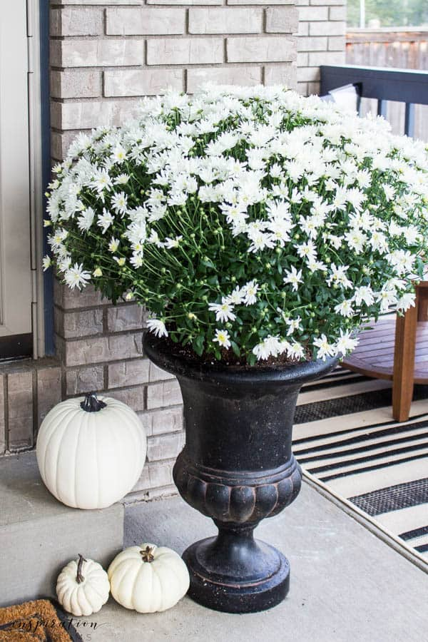 Welcome to a neutral Fall home tour with white pumpkins and plenty of cozy touches. white mums, white pumpkins, black urns, black and white outdoor rug