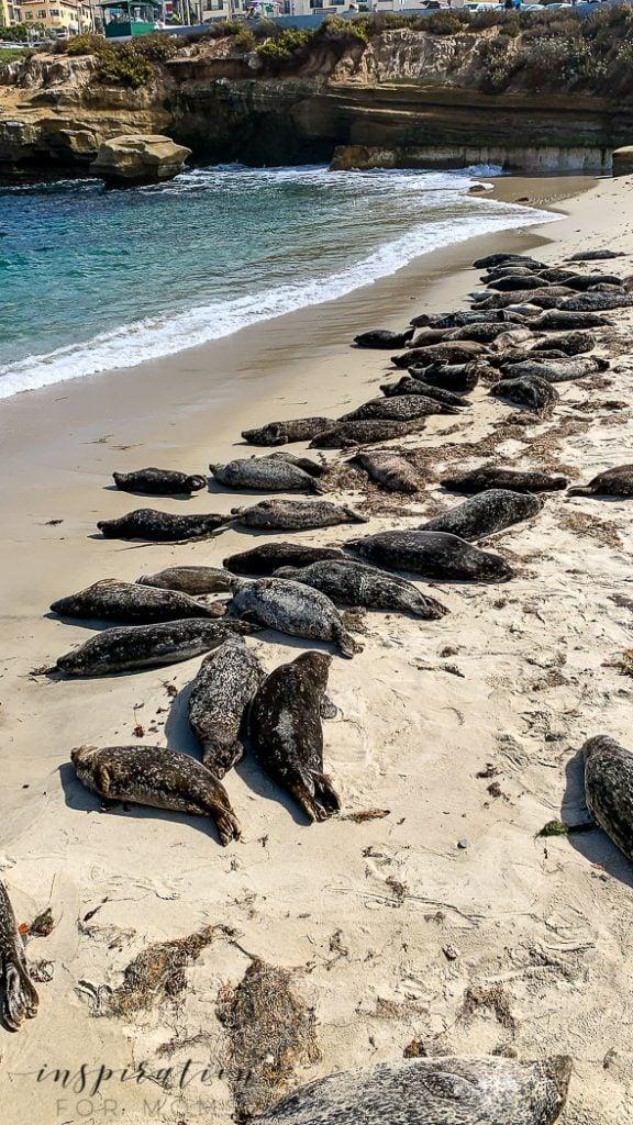 San Diego Jolla Cove sea lions